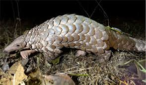 bhopal, Radio tagging ,pangolin took place, Madhya Pradesh ,World Pangolin Day