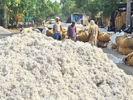 chindwara, Cotton, purchased,farmers,May 13