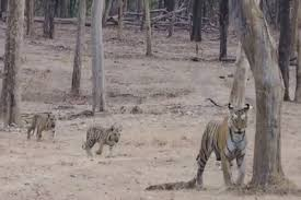 seoni, Two cubs, with tigress ,seen in Pench Park